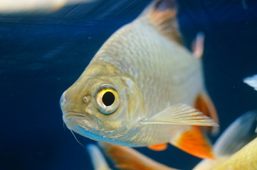 Double line crucian carp swimming in the aquarium pool, interesting and beautiful