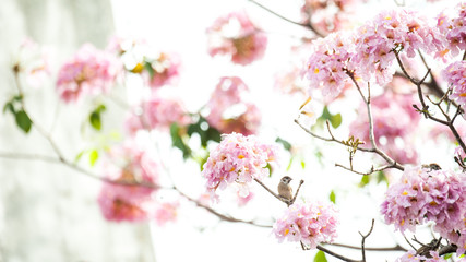 pink trumpet tree or Tabebuia rosea; fresh pink flowers and green leaves on branches of the pink trumpet tree ,a sweet pink flower blooming during January and February in Thailand.