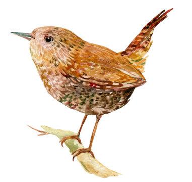 Wren bird illustration watercolor