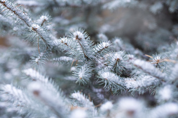 blue spruce in the snow in forest, winter, Christmas background.