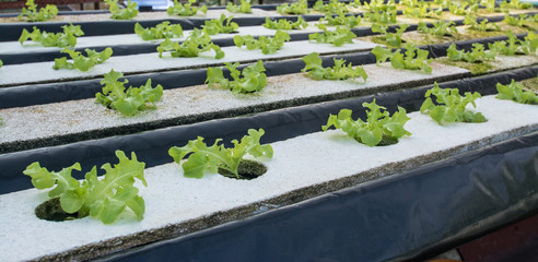 small plants or salad vegetable grown from hydroponics system