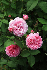 Blossom of the historic pink rose Louise Odier, bourbon rose in the summer country garden.