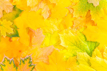 Maple leaves.  Yellow and orange canadian maple leaves texture