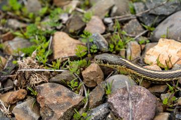 Northwestern Garter Snake II