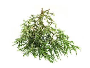 cedar branch on white