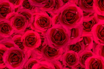 Rose red flower blossom background