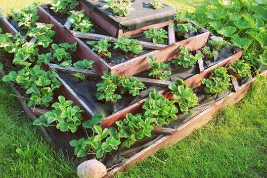Strawberries grows up in raised garden bed. Pyramid raised garden