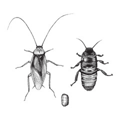 Cockroach hand drawing vintage style