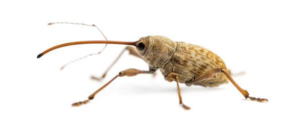 Side view of an Acorn weevil, Curculio glandium, isolated on white