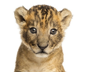 Close-up of a Lion cub, 4 weeks old, isolated on white