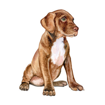 Pitbull puppy is brown. Chocolate dog isolated on white background. Watercolor. Illustration. Template. Handmade. Clip Art