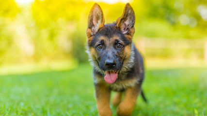 German shepherd puppy playing outside in green grass