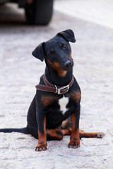 Dog breed german yaggter terrier