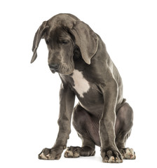 Great Dane sitting, looking down, isolated on white