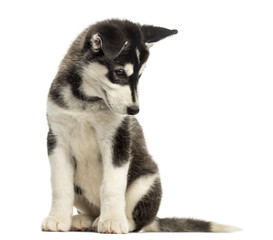 Husky malamute puppy, sitting, looking down, isolated on white