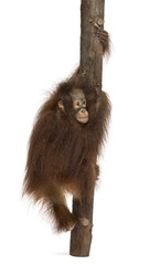 Rear view of a young Bornean orangutan climbing on a tree trunk,