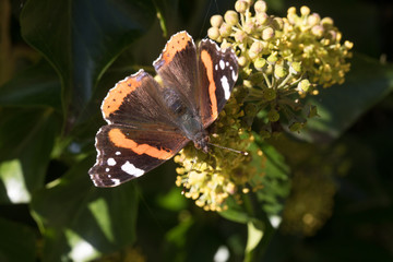 butterfly admiral in autumn