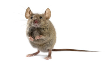 Wall Mural - Wood mouse in front of a white background