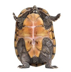 Female striped mud turtle (4 years old), Kinosternon baurii, sta