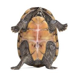 Female striped mud turtle (4 years old), Kinosternon baurii, sta