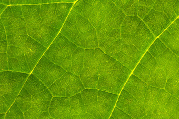 Natural Green Leaf Texture