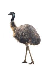 Poster Struisvogel ostrich Emu
