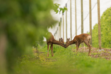 Kiss between deers