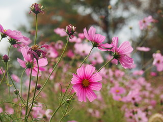 Pink Cosmos Flower Field