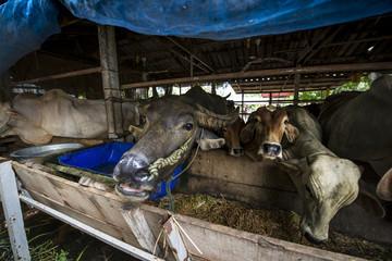 Buffalos and cows in farm.
