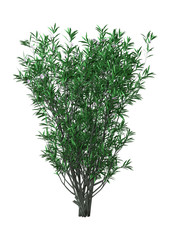 3D Rendering Bush Oleander with Flowers on White