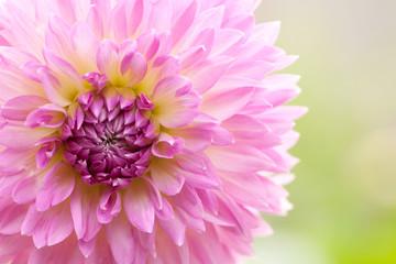 eautiful open pink flower dahlia