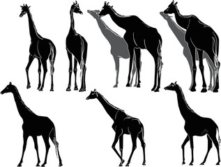 nine giraffes isolated on white