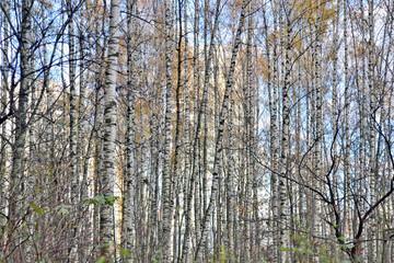 birch trunks background