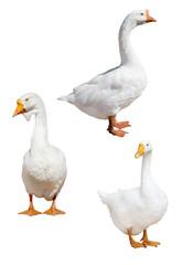 three isolated white large gooses