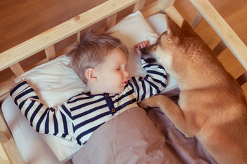 Cute little toddler boy sleeping with funny nad friendly Shiba inu dog on bed at home