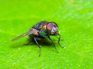 Ugly Drosophila Fruit Fly Insect On Green Leaf