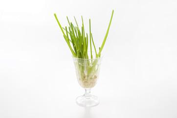 リボーンベジタブル「再生野菜」ネギ