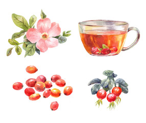 rosehips watercolor. Tea with rose hips. Flower, berries, and infusion branch.