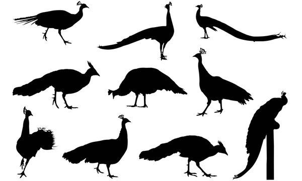 Peafowl Silhouette Vector Graphics
