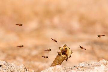 Tetragonisca angustula colony - honeybees jatai - in flight