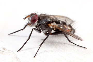House fly in white background - high detail