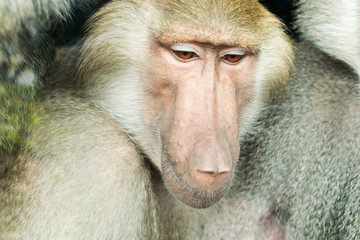 Close-up portrait of baboon monkey looking down