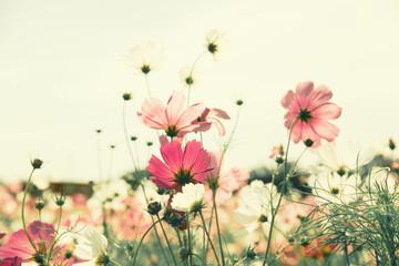 Fototapete - Vintage color cosmos flower in the field