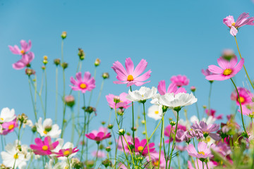 Fototapete - Pink and white Cosmos flower on blue sky
