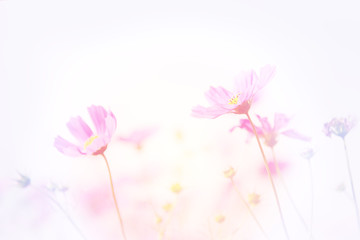 Wall Mural - Soft image of Cosmos flower field, beautiful pink flowers