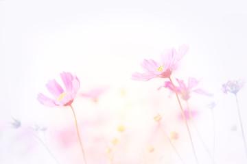 Fototapete - Soft image of Cosmos flower field, beautiful pink flowers