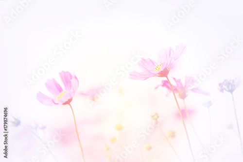 Wall mural Soft image of Cosmos flower field, beautiful pink flowers