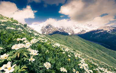 Fields of blooming white flowers in the Caucasus mountains.