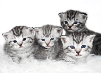 Lovely kittens of gray color. 4 kittens are lying