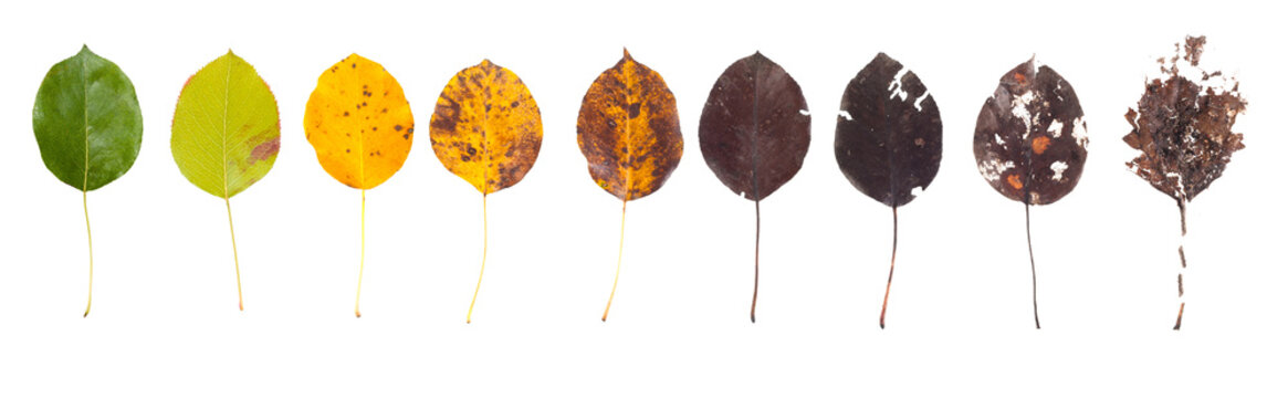 The concept of the biological life cycle. Row of leaves from green to rotten on a white background